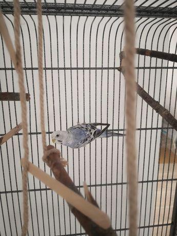 Papużka falista uciekła z klatki