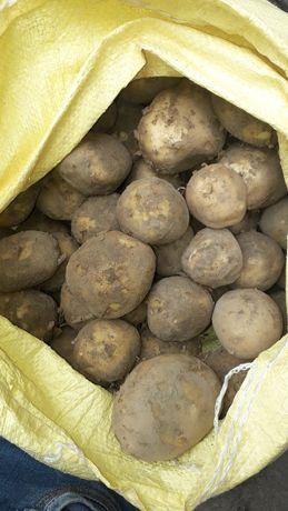 Ziemniaki jadalne Wineta,Lili
