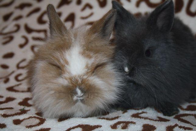 Супер мини кролики в продаже