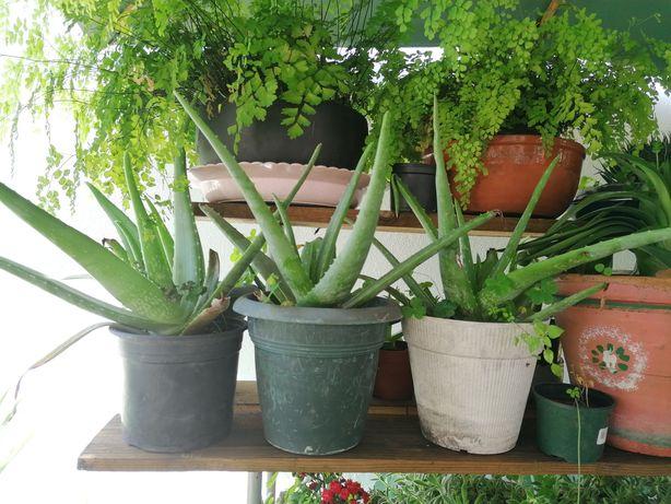 Planta Aloe Vera vasos