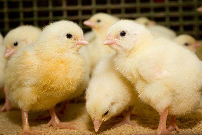 Суточные цыплята (бройлер, мясо-яичные, яичные)