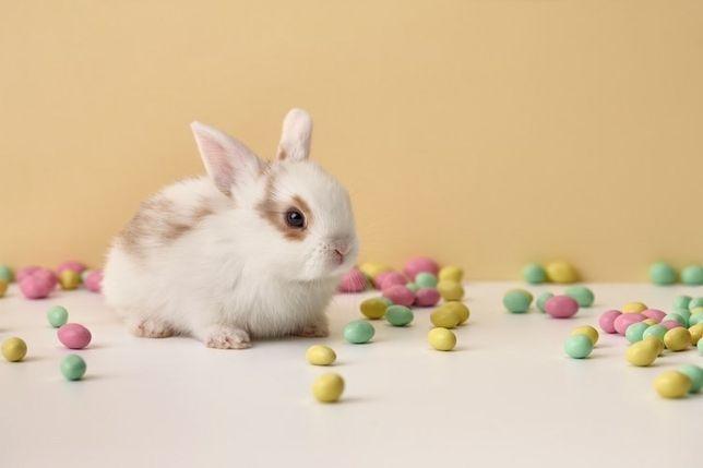 Декоративный кролик баранчик вислоухий