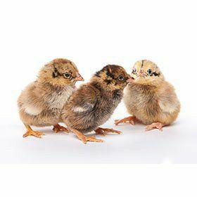 Мясо-яичные цыплята Испанка Мастер Грей Фокси Чик Редбро Гриз Бар