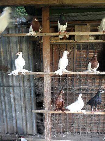 Gołębie ozdobne typlery, krymki, pocztowe, kaczuny rostowskie