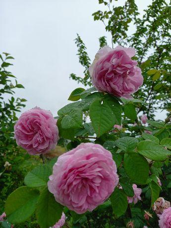 Продам саженцы чайной розы