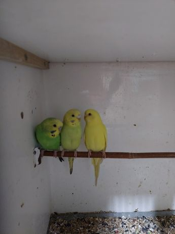Papugi faliste z 2021 roku