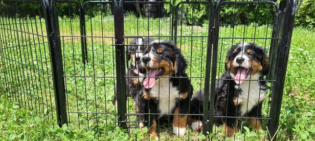 Bernenski pies pasterski szczeniaki