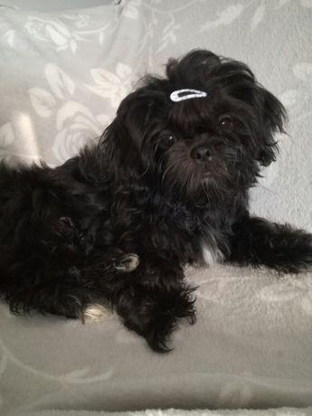 Śliczna mini czarna laleczka Shih-tzu / PASZPORT