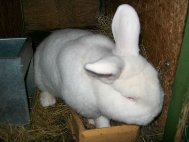 króliki nowozelandzkie białe - samice