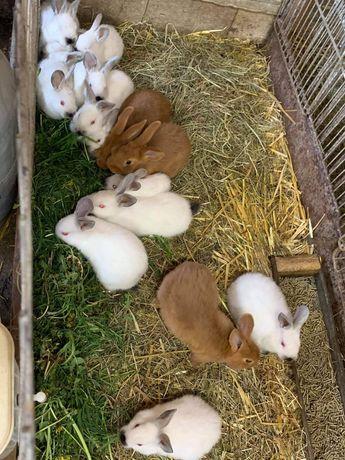 Młode króliki kalifornijskie i NC
