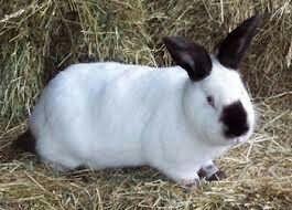 Króliki kalifornijskie/mieszance/barany francuskie/Tuszka z królika !!
