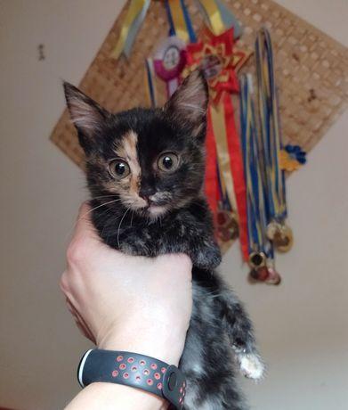 Чудова триколора кішечка, 2 міс.