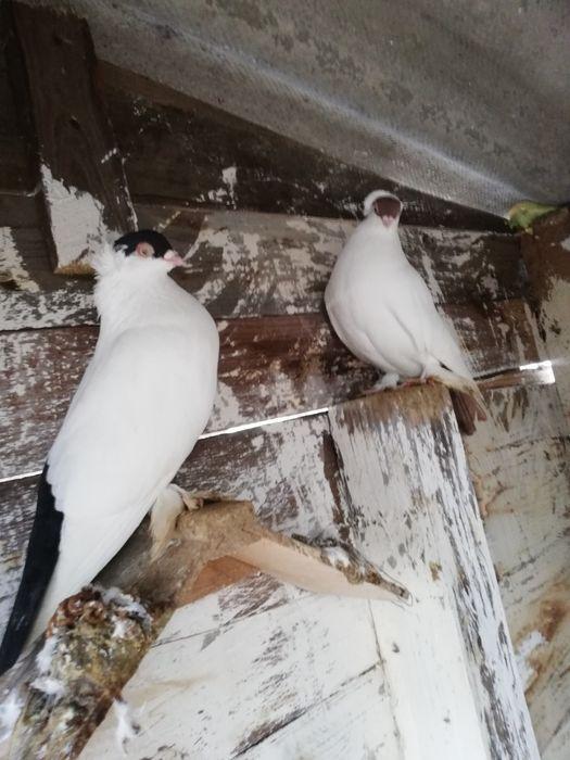 Zamienię gołębie krymki Kcynia - image 1