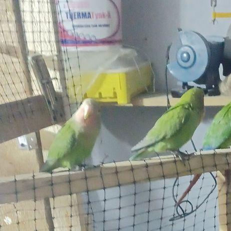 Zaginęły 2 papugi nierozlaczki