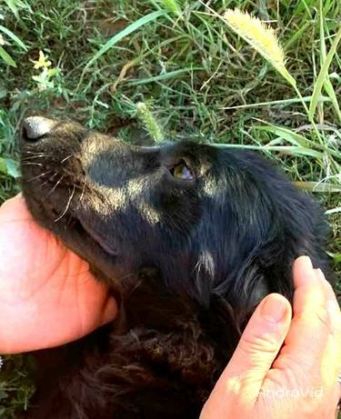 Метис спаниэля 9 мес