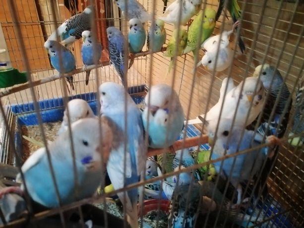 Молодеж волнистих попугаев