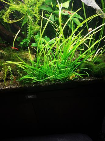 Sagittaria subulata - niska trawa akwariowa na 1 plan