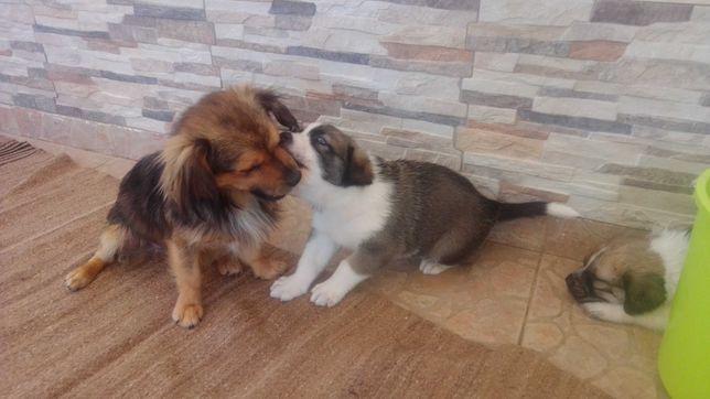 Cães de grande porte rafeiro do Alentejo