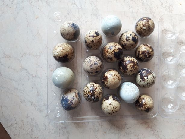 Jaja przepiórcze