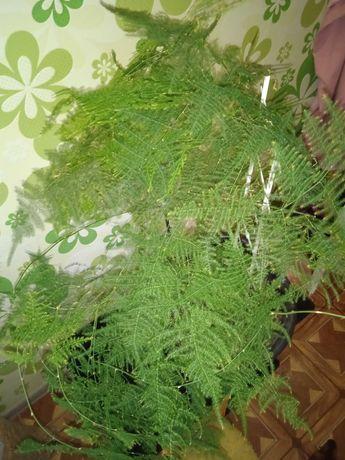 Аспарагус перистый.Филодендрон 2 вида и др.