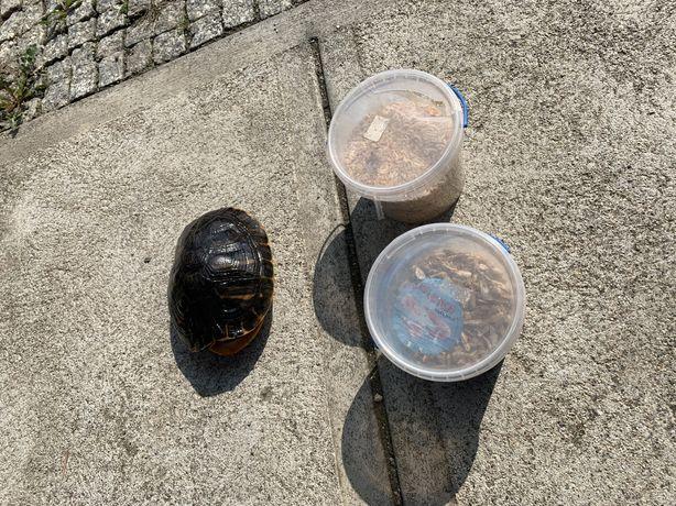 Żółw hieroglifowy i pokarm