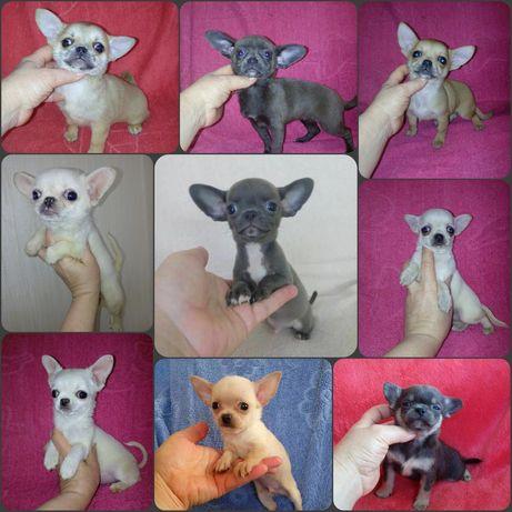 Кукольные щеночьки супер мини мини стандарт Чихуахуа мальчики и девоч