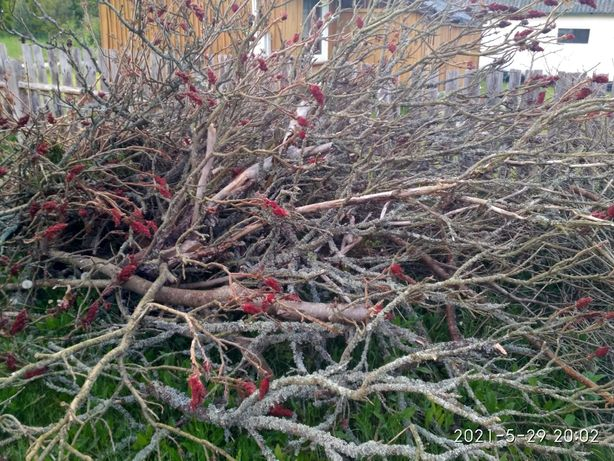 Oddam gałęzie, ścięte drzewa