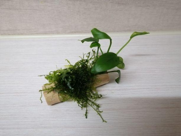 Anubias roślina do akwarium krewetkarium