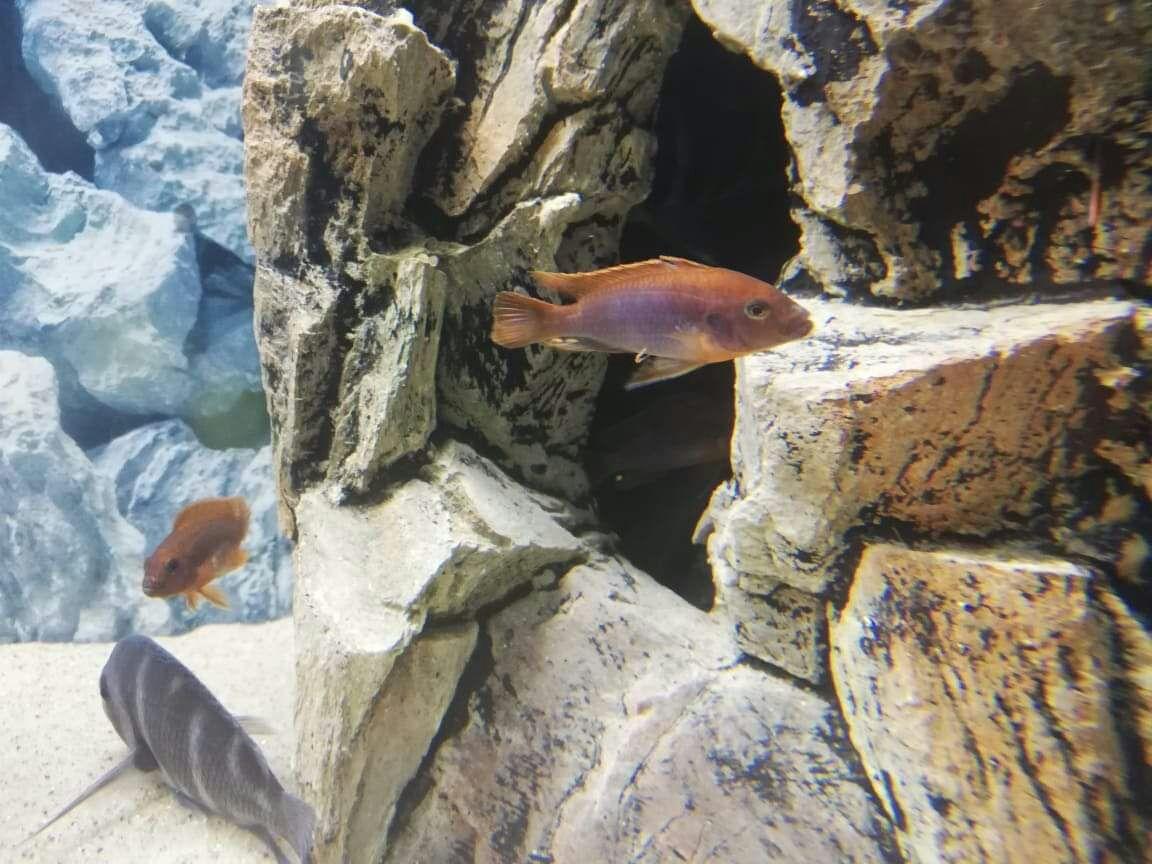 Dorosłe Pyszczaki Rdzawe # Iodotropheus Sprengerae Makokola Reef