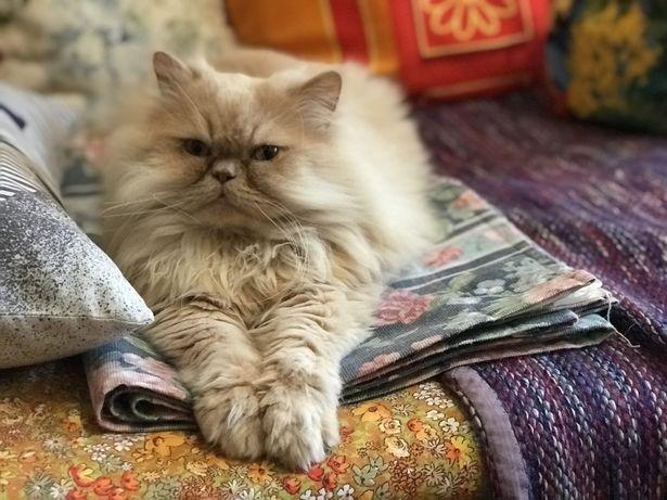 В'язка, чистокровний персидський кіт
