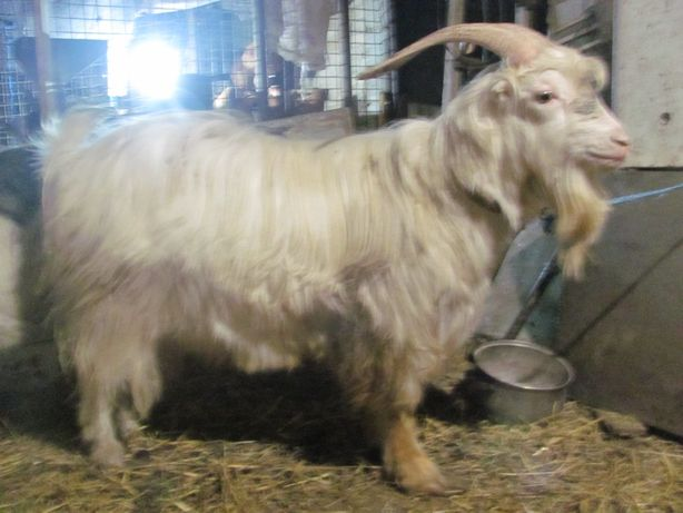 Козел Ламанча приглашает коз на свидание (случка)!)