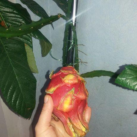 Питахайя (фрукт дракона). Рожева і жовта.Екзотичні рослини