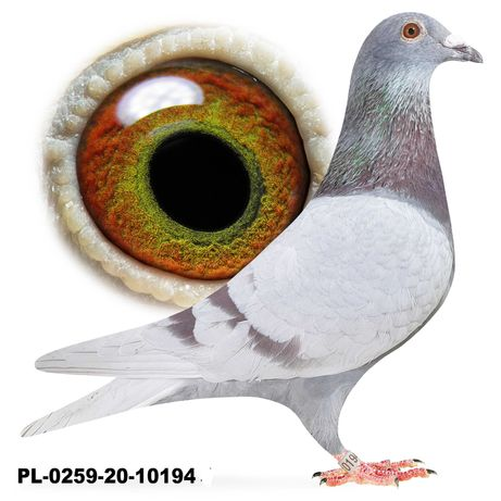 Młode 2021 Para 47 Bula-Latacz Linia BESTA Gołąb gołębie pocztowe