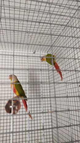 Dois machos de pyrrhuras molinae pinneaple 2021