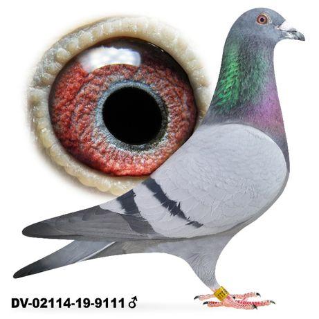 Młode 2021 Para 23 Team Schlief Stiens gołąb gołębie pocztowe Stickers