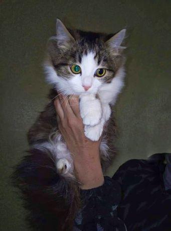 Котенок пушистый стерилизована