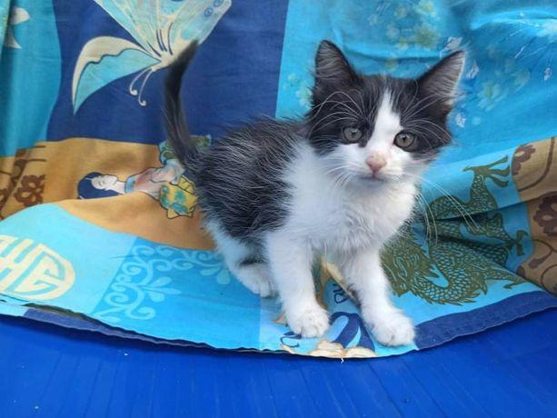 Отдам черно-белого котенка, мальчик, 3 месяца
