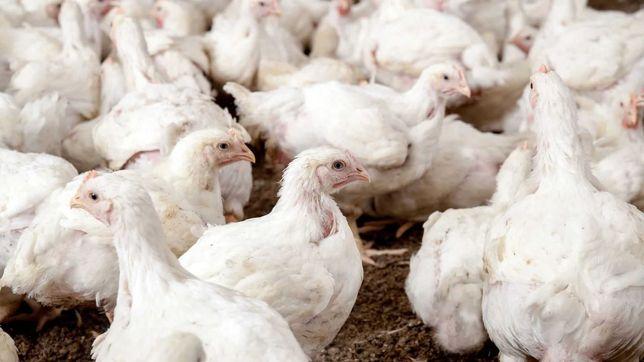 Kurczaki Brojlery Kury 2,75-3,0 kg (cena 5,10 - 5,25 zł za kg)