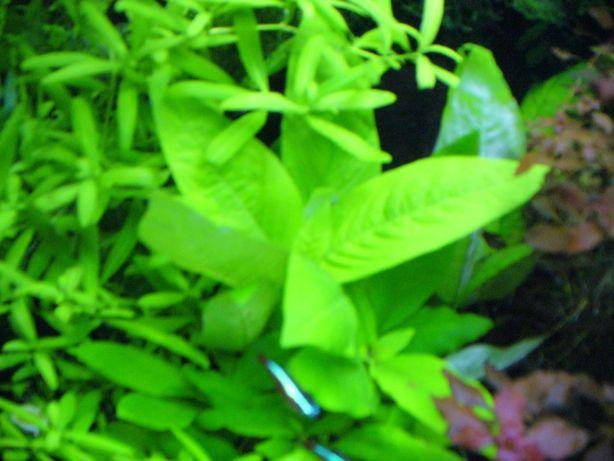 Hygrophila Corymbosa-Nadwódka szerokolistna-Dąbek + gratis