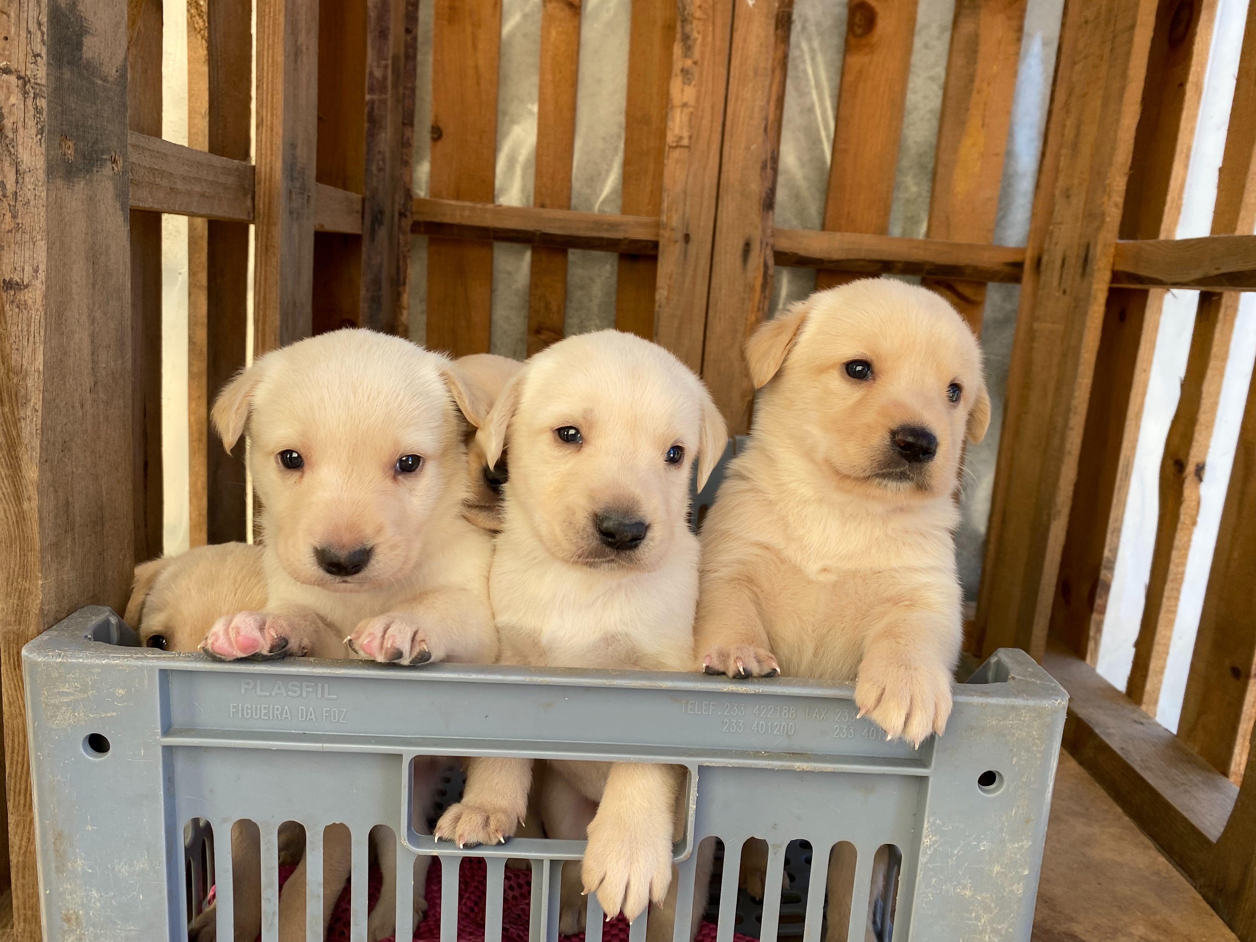 Cães labrador não puros