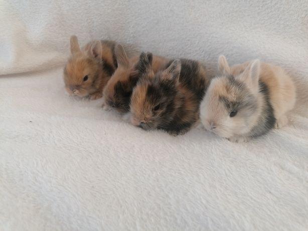 Królik króliki miniaturki
