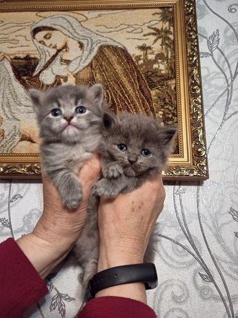 Вислоухие котята, висловухі кошенятка
