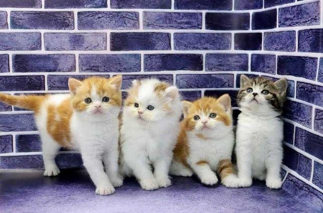 Котята, скоттиш страйт-шотландские прямоухие