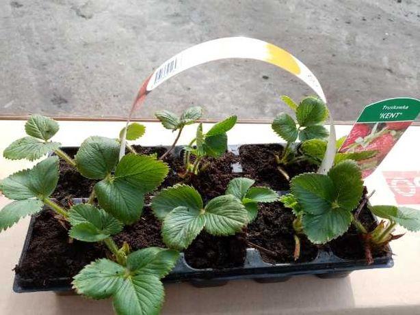 owoce , sadzonki truskawek doniczka multiplat kopane maliny świdośliwa