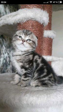 Скоттиш фоллд мраморные котята, Киев