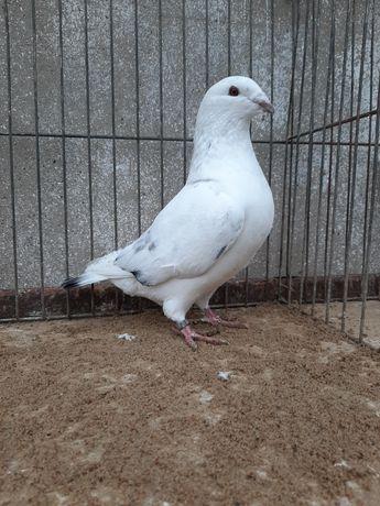 Standardy  Gołębie