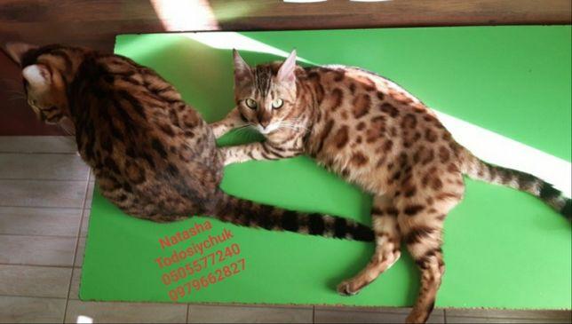 Котята бенгали