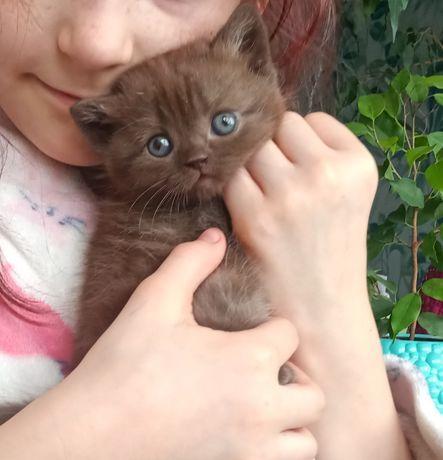 Британский котенок, мальчик котик