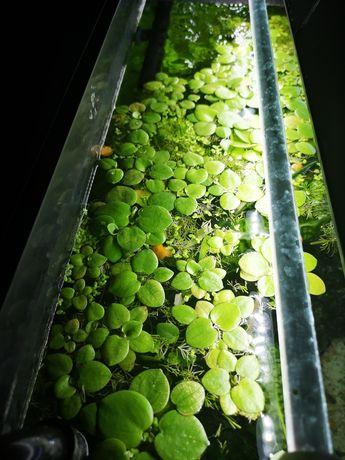 Limnobium roślina pływająca
