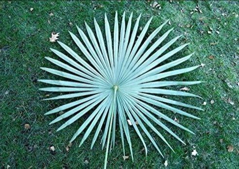 RARYTAS - Trachycarpus 360 Silver